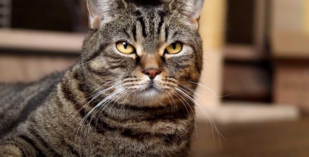 Kann die Katze Zahnschmerzen haben und warum?
